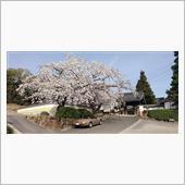 令和三年の桜