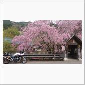 奥多摩 桜