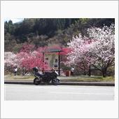'21/4/10長野県昼神温泉の花桃は見頃です。
