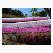 2021.4.19 ヤマサ蒲鉾夢鮮館「芝桜の小路」