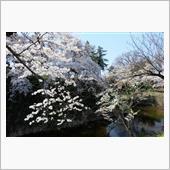 鶴ヶ城の桜(2021年4月12日)の画像