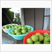梅の実の画像