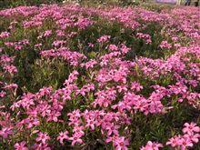北海道の旅アップしました。 4 クッチャロ湖と紋別と東藻琴山芝桜