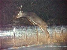 夜の峠は鹿にご注意