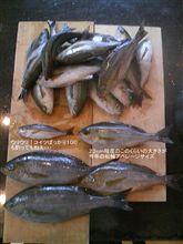 松輪イサキ 今年のサイズ