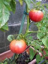 トマト 実りました