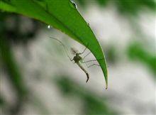 【金子みすゞ】「籔蚊の唄」