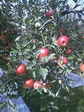 なってます りんご