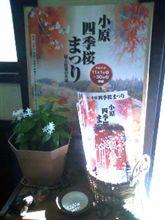 小原四季桜祭り始まる!