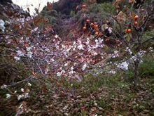 四季桜情報20091120