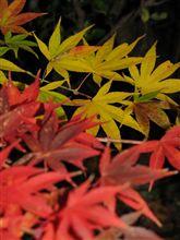 晩秋 色づいた葉