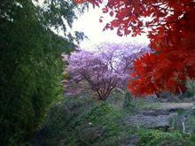 四季桜情報20091127
