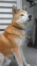 愛犬捜索!