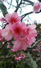日本一早いサクラ咲く。
