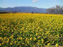 菜の花畑 (*^_^*)