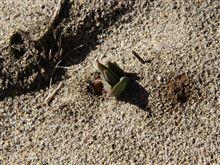 チューリップが芽を出した
