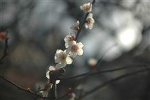 祇園の白梅