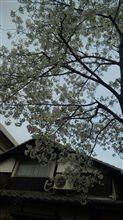 もう咲いてるぅ。