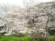 桜満開じゃん!!