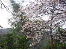雲山峰の山桜