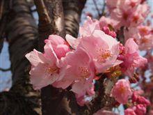 早咲きの桜を撮ってみた