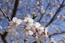 桜を撮ってみた