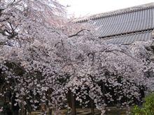 枝垂桜見頃を迎えています♪。
