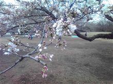 東京の桜・・・・寒かった(-_-;)