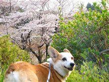 ナナだけの桜やねん!