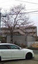 家の桜が・・・