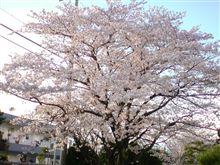 頑張れ桜!