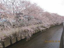 今朝の東京の桜