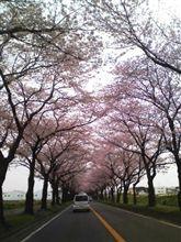 海軍道路の桜を観てきました~