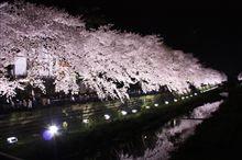 明日は野川@調布市の夜桜ライトアップだよ~!