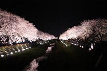 2010野川@調布市の夜桜ライトアップ