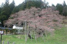 臥龍桜(がりゅうざくら)