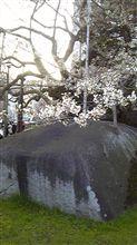 やっと桜が。。。