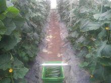 胡瓜の収量はなかなか増えない。