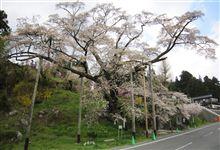 松岩寺の山桜
