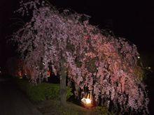 混浴転じて 夜桜見物に  (´ヘ`;)ハァ
