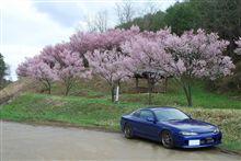 若い桜の木たちと