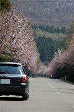 GWに桜が無かったら..