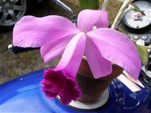 ミニカトレア、開花