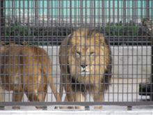 ライオンが出た...!