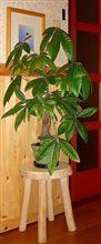 伸(しん)の『自遊人の部屋』の一本の観葉植物