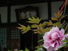 ★妙雲寺のぼたん★