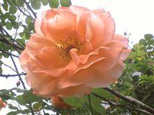 モッタイナイ?バラの花