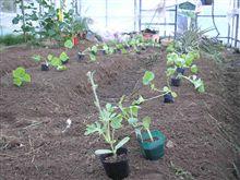 メロンと西瓜を植えました。