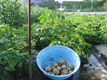 ジャガイモ 試し収穫を実施