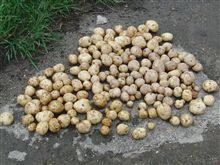 ジャガイモ 本格収穫開始